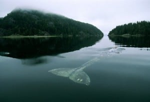 balenul singur